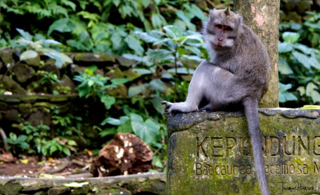 Even a monkey might rip you off in Bali!