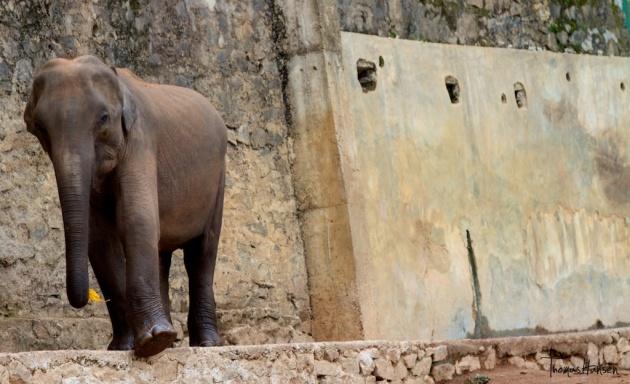 Pinnawala Elephant Orphanage - Sri Lanka 11