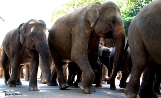 Pinnawala Elephant Orphanage - Sri Lanka 12
