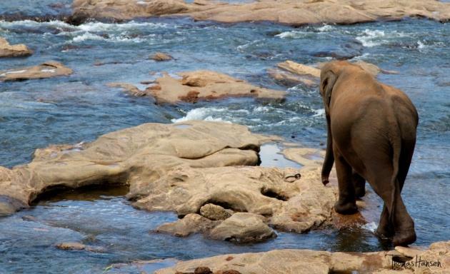 Pinnawala Elephant Orphanage - Sri Lanka 2
