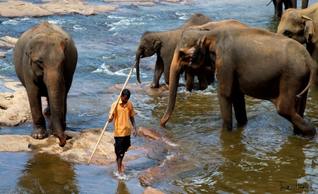 Pinnawala Elephant Orphanage - Sri Lanka 3