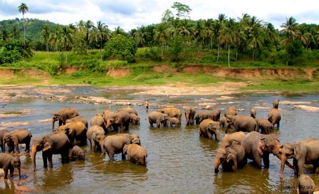 Pinnawala Elephant Orphanage - Sri Lanka 4