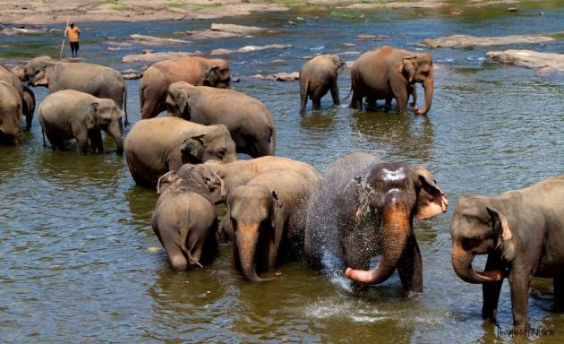 Pinnawala Elephant Orphanage - Sri Lanka 6