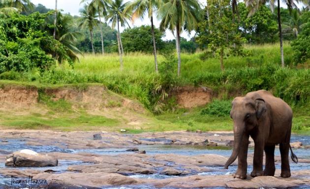 Pinnawala Elephant Orphanage - Sri Lanka 8