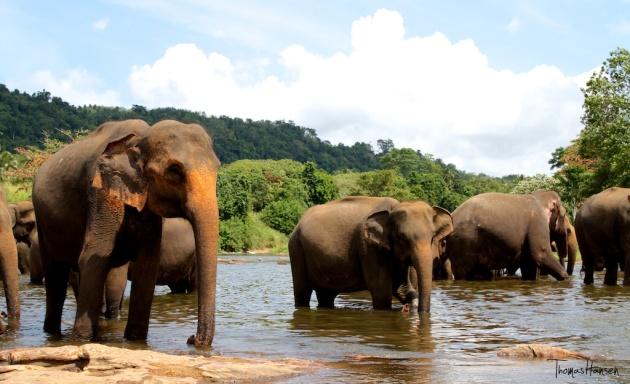Pinnawala Elephant Orphanage - Sri Lanka 9