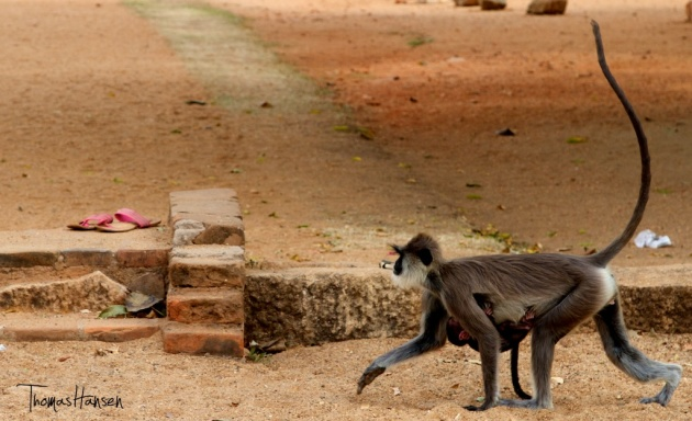 Monkey - Anuradhapura - Sri Lanka 9