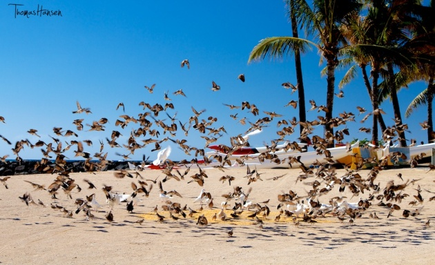 Feeding the Pigeons in Hawaii