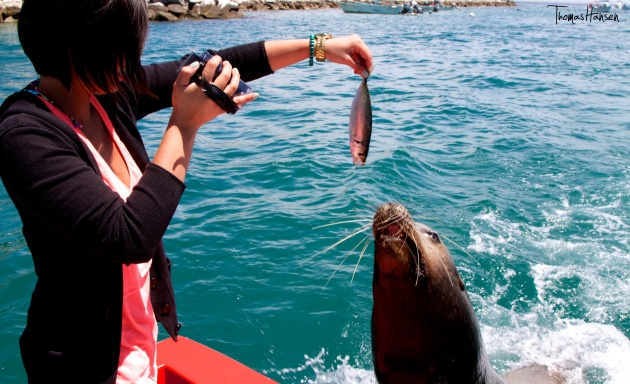 Feeding a Sea Lion Cabo San Lucas Mexico