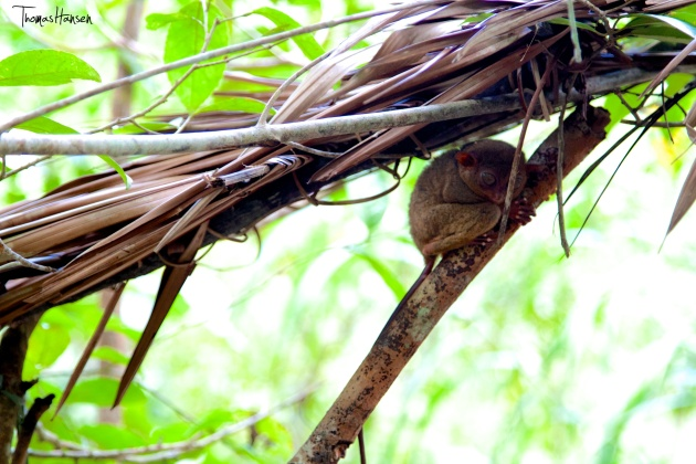 Tarsier at Loboc Conservation Area Bohol Philippines 02