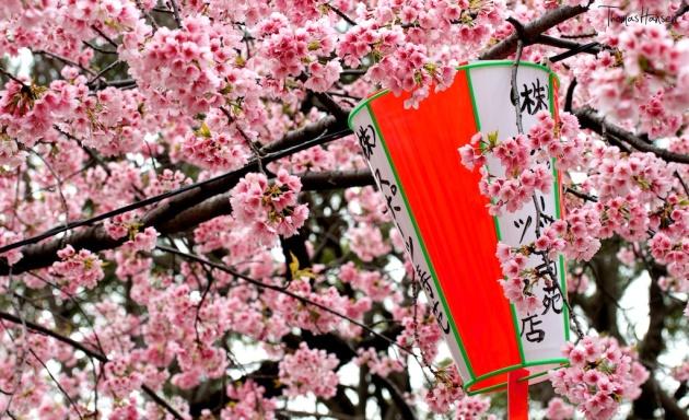 Japan Sakura - Cherry Blossom Flowers 01