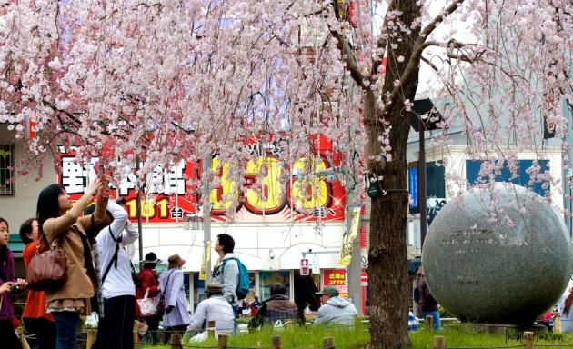 Japan Sakura - Cherry Blossom Flowers 04
