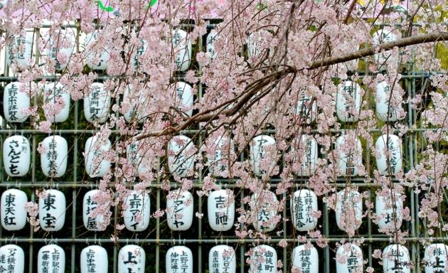 Japan Sakura - Cherry Blossom Flowers 05