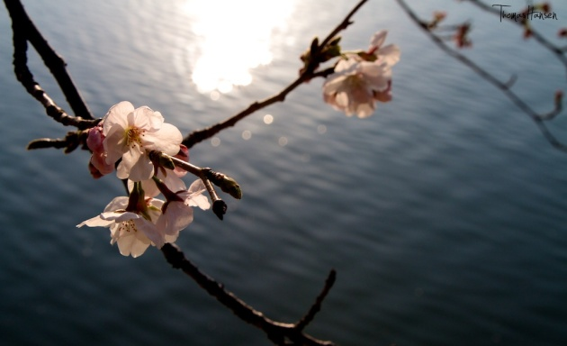 Japan Sakura - Cherry Blossom Flowers 06