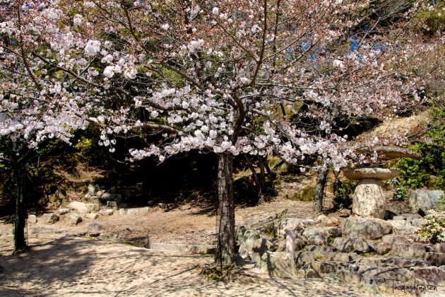 Japan Sakura - Cherry Blossom Flowers 08