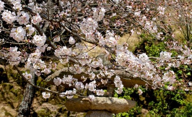 Japan Sakura - Cherry Blossom Flowers 09