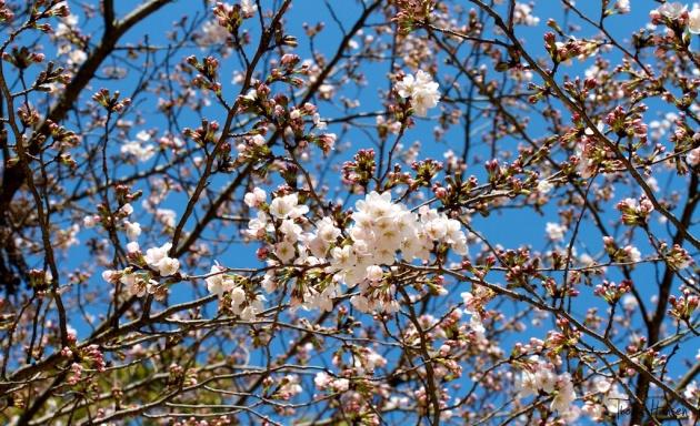Japan Sakura - Cherry Blossom Flowers 10