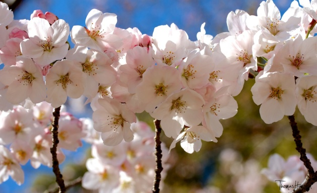 Japan Sakura - Cherry Blossom Flowers 11