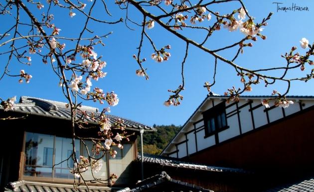 Japan Sakura - Cherry Blossom Flowers 13