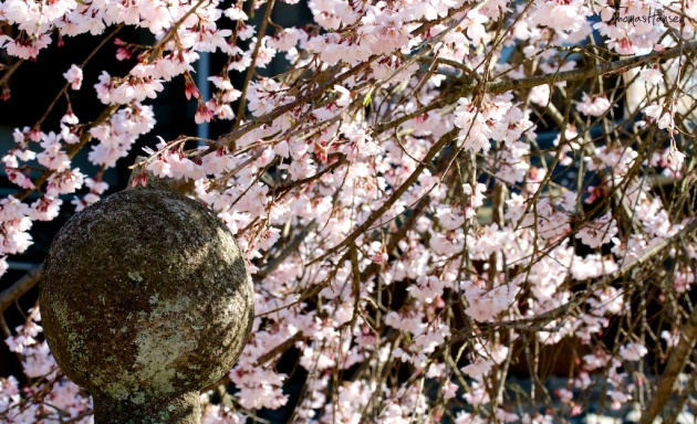 Japan Sakura - Cherry Blossom Flowers 14