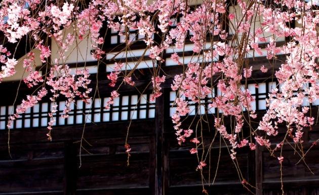 Japan Sakura - Cherry Blossom Flowers 15