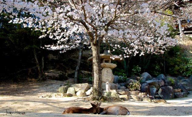 Japan Sakura - Cherry Blossom Flowers 16