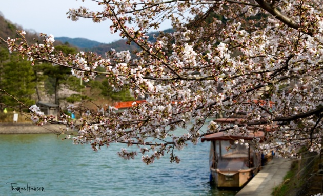 Japan Sakura - Cherry Blossom Flowers 17