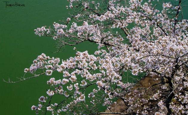 Japan Sakura - Cherry Blossom Flowers 18