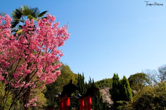 Japan Sakura - Cherry Blossom Flowers 19
