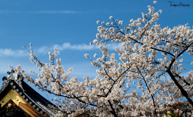 Japan Sakura - Cherry Blossom Flowers 20