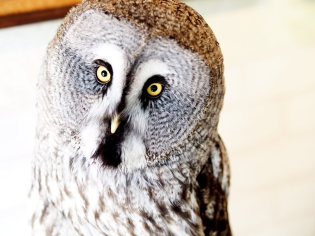 Cafe Baron - Owl:Bird Pet Cafe - Tokyo Japan 01